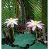 Delta du Mékong – Lotus